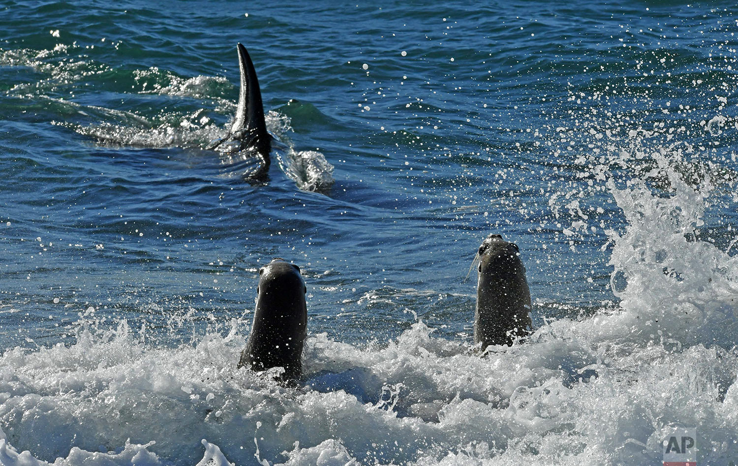 An orca whale hunts sea lion pups on a beach at Punta Norte, Valdes Peninsula, Argentina, Tuesday, April 17, 2018. The orcas' predatory ritual occurs annually in the Southern Atlantic coast in March and April, coinciding with the development of the sea lions when the young cubs are learning to swim. (AP Photo/Daniel Feldman)