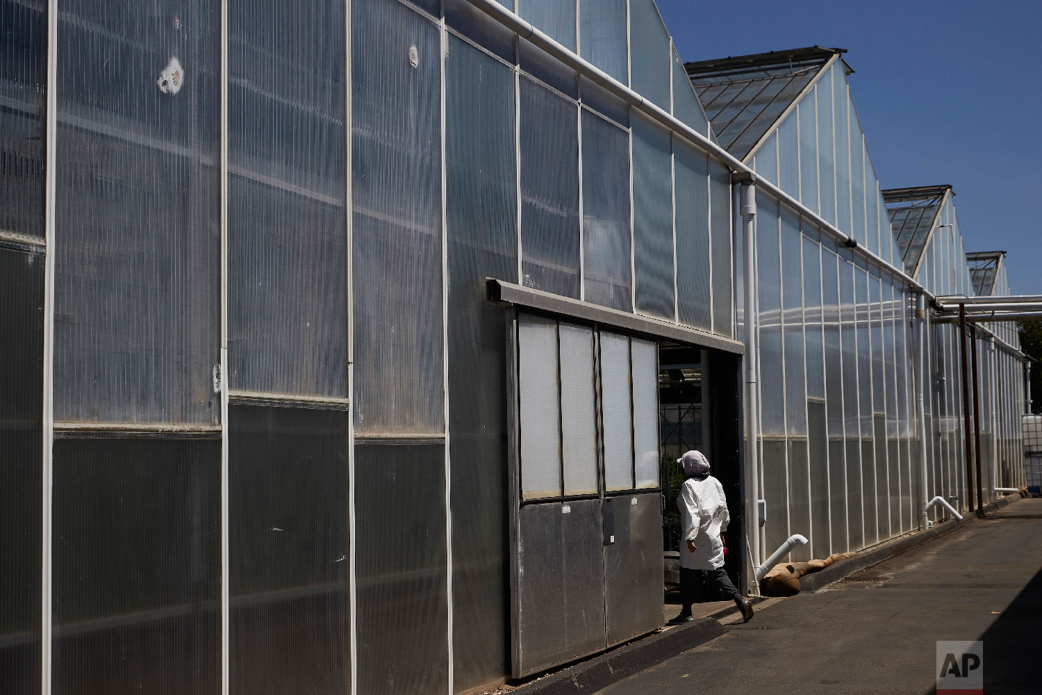 A worker walks into a greenhouse growing cannabis plants at Glass House Farms Thursday, April 12, 2018, in Carpinteria, Calif. Greenhouses that once produced flowers are seen as ideal for growing marijuana. In a climate like Carpinteria's, they heat and cool easily and inexpensively, and the plants thrive. It takes only about three months to grow cannabis in pots of shredded coconut husks, so farmers can get multiple harvests each year. (AP Photo/Jae C. Hong)