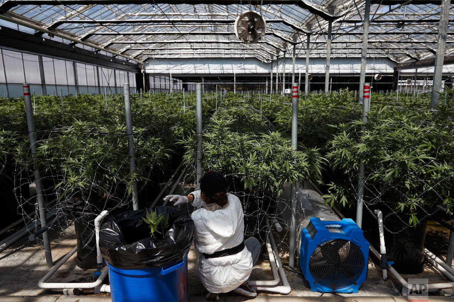 A worker picks unnecessary leaves from cannabis plants at Glass House Farms Thursday, April 12, 2018, in Carpinteria, Calif. Greenhouses that once produced flowers are seen as ideal for growing marijuana. In a climate like Carpinteria's, they heat and cool easily and inexpensively, and the plants thrive. It takes only about three months to grow cannabis in pots of shredded coconut husks, so farmers can get multiple harvests each year. (AP Photo/Jae C. Hong)