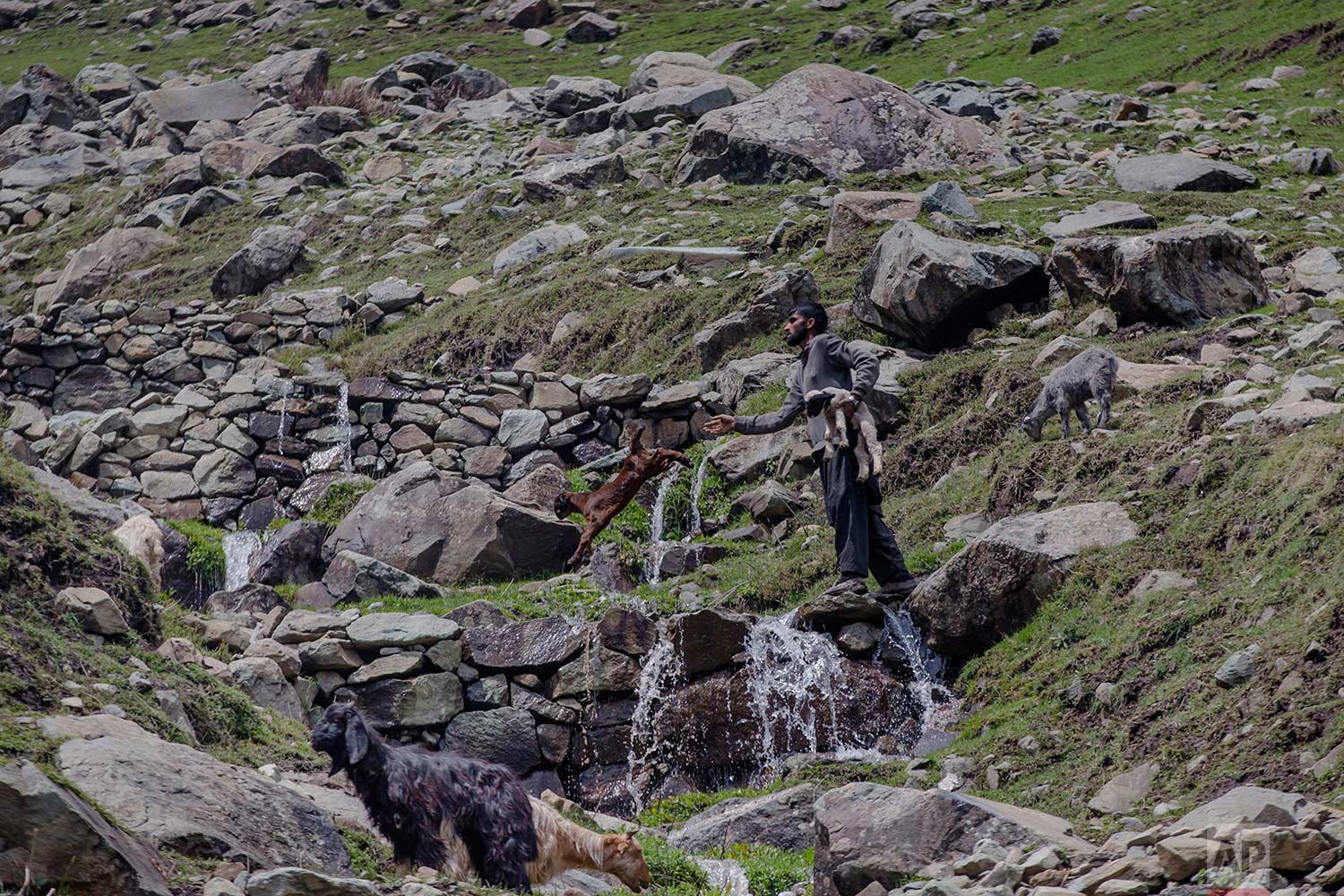 In this May 9, 2018, photo, a Kashmiri nomadic Bakarwal man carries a lamb as he tosses a baby goat to help them cross a waterfall near Dubgan, 70 kilometers (43 miles) south of Srinagar, Indian controlled Kashmir. (AP Photo/Dar Yasin)