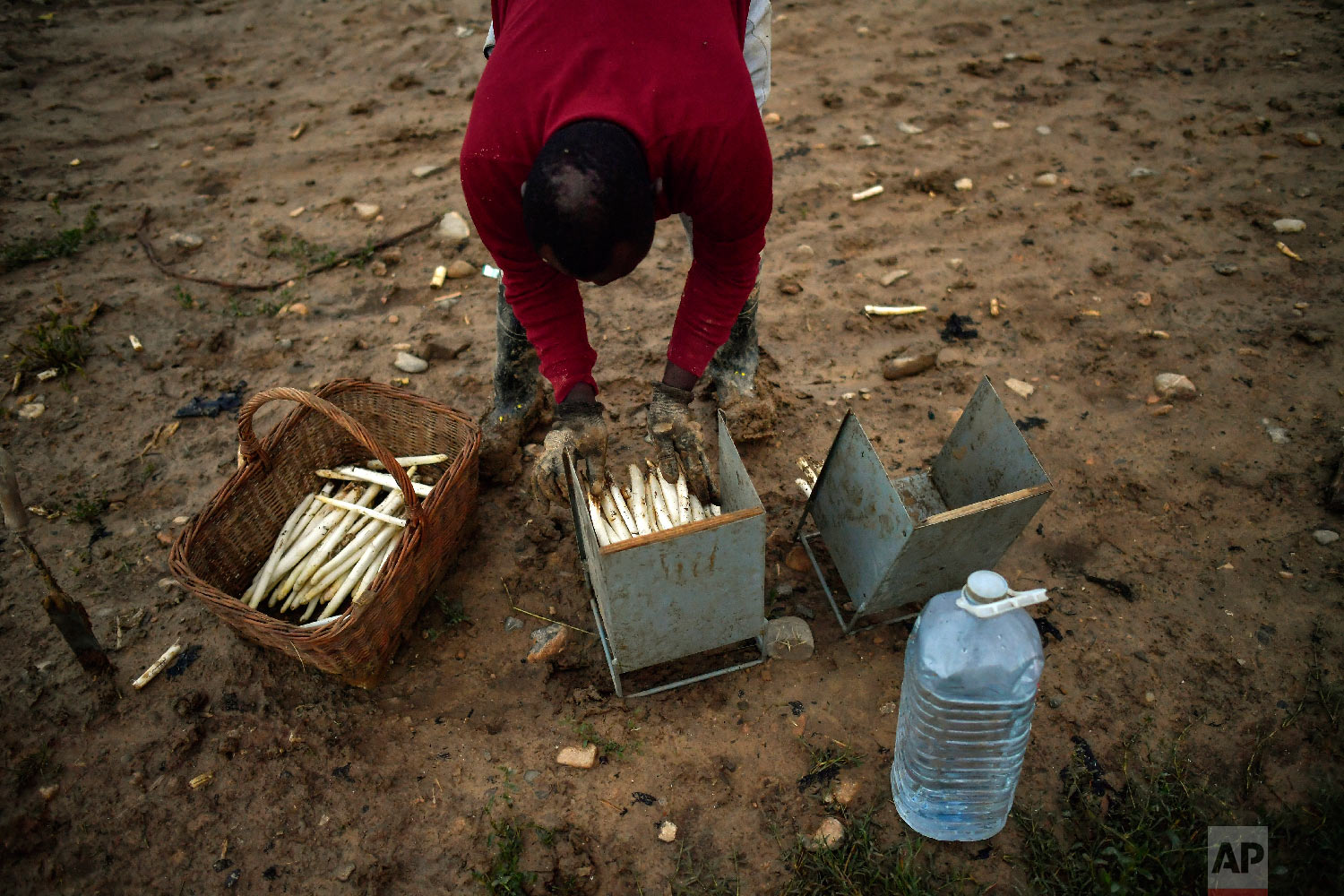 Temporary worker Evin, 25, from Cameroon, collects white asparagus from the field early morning, in Caparroso, around 85 km (52 miles) from Pamplona, northern Spain on Thursday, May 31, 2018. (AP Photo/Alvaro Barrientos)