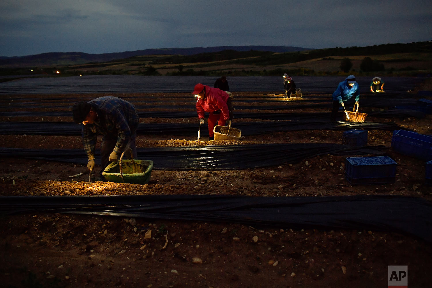 Seasonal workers collect white asparagus from the field using lanterns in Uterga, around 15 km (9 miles) from Pamplona, northern Spain on Saturday, June 2, 2018 (AP Photo/Alvaro Barrientos)