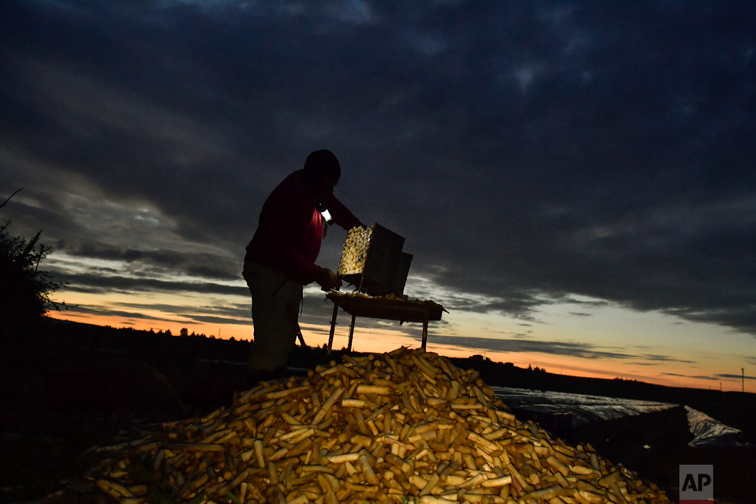 Temporary worker Evin, 25, from Cameroon, cleans white asparagus after collecting them from a field in Caparroso, around 85 km (52 miles) from Pamplona, northern Spain on Thursday, May 31, 2018.(AP Photo/Alvaro Barrientos)