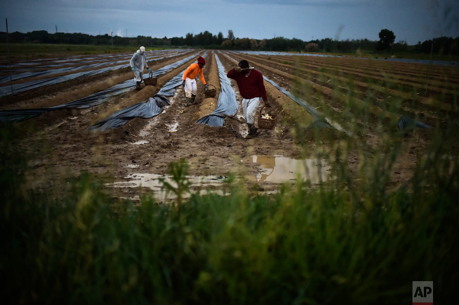 Seasonal workers collect white asparagus from a field in Caparroso, around 85 km (52 miles) from Pamplona, northern Spain on Thursday, May 31, 2018. (AP Photo/Alvaro Barrientos)