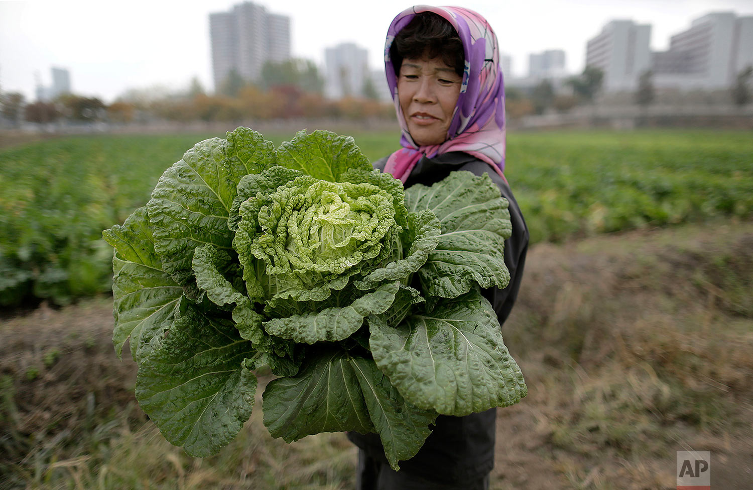 A farmer carries a fully grown cabbage after plucking it out from the main crop that will be harvested early next month and used to make Kimchi, at the Chilgol vegetable farm on the outskirts of Pyongyang, North Korea, on Oct. 24, 2014. After suffering a near cataclysmic famine in the 1990s, North Korea has since managed to increase its agricultural production to what international organizations believe is closer to the self-sufficiency level than the country has seen in years. (AP Photo/Wong Maye-E)