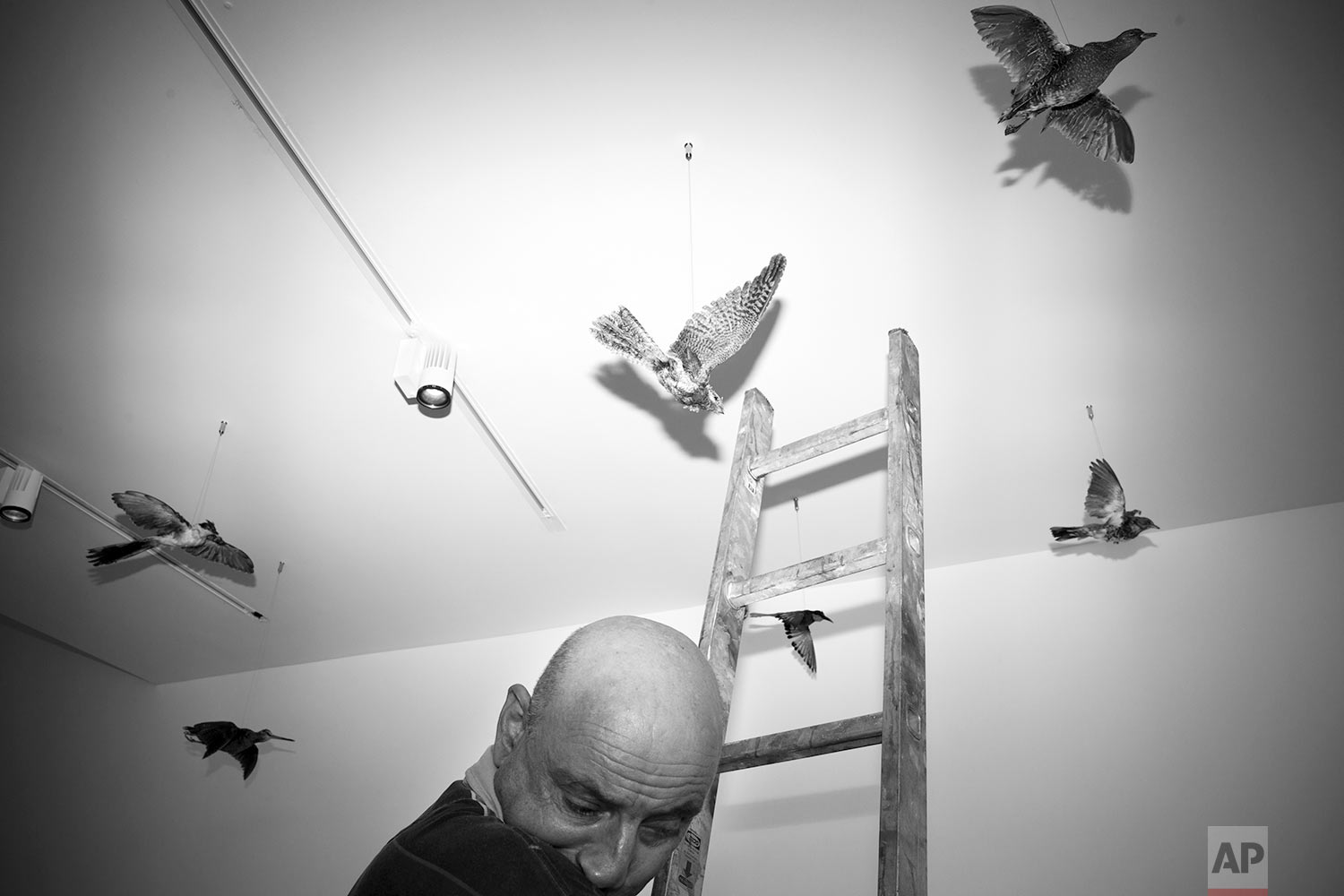 In this Thursday, June 22, 2017 photo, an exhibition designer arranges stuffed birds at the Steinhardt Museum of Natural History in Tel Aviv, Israel. (AP Photo/Oded Balilty)
