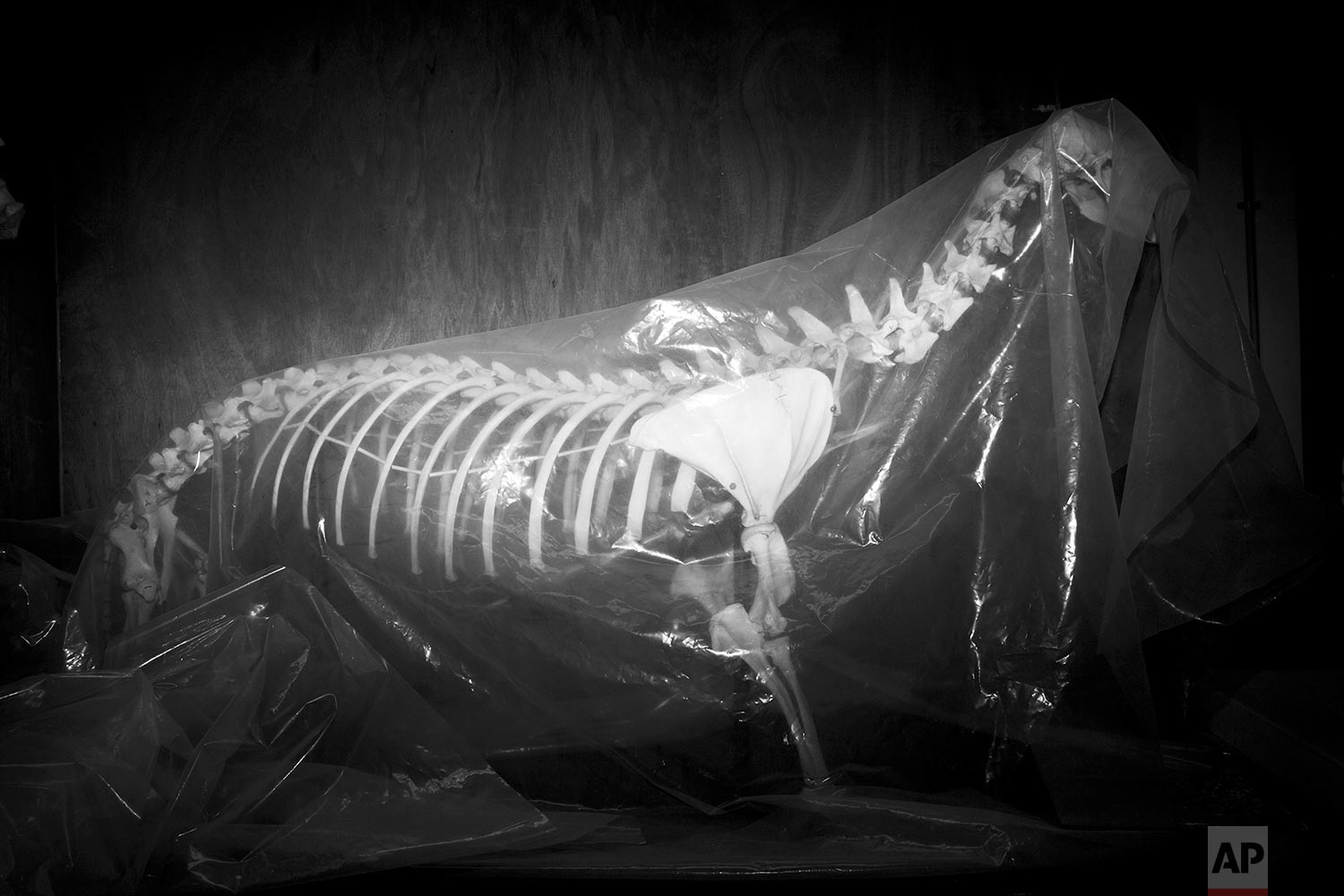 In this Thursday, June 22, 2017 photo, a transparent sheet covers a seal skeleton in the collections storeroom of the Steinhardt Museum of Natural History in Tel Aviv, Israel. (AP Photo/Oded Balilty)