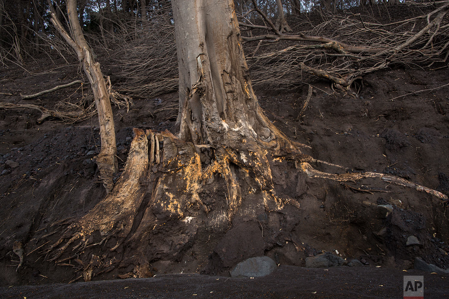 In this June 19, 2018 photo, the roots of a charred tree are exposed along the path of destruction in the aftermath of the Volcano of Fire's eruption in San Miguel Los Lotes, Guatemala. (AP Photo/Rodrigo Abd)