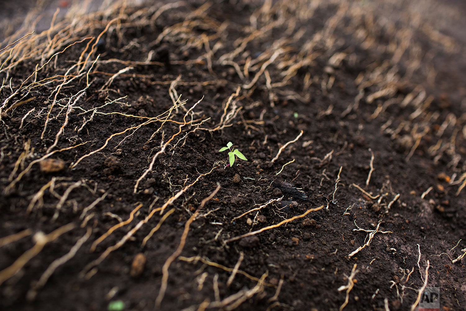 In this June 15, 2018 photo, a plant sprouts from a field charred by the passage of volcanic debris brought by the eruption of the Volcano of Fire in San Miguel Los Lotes, Guatemala. (AP Photo/Rodrigo Abd)