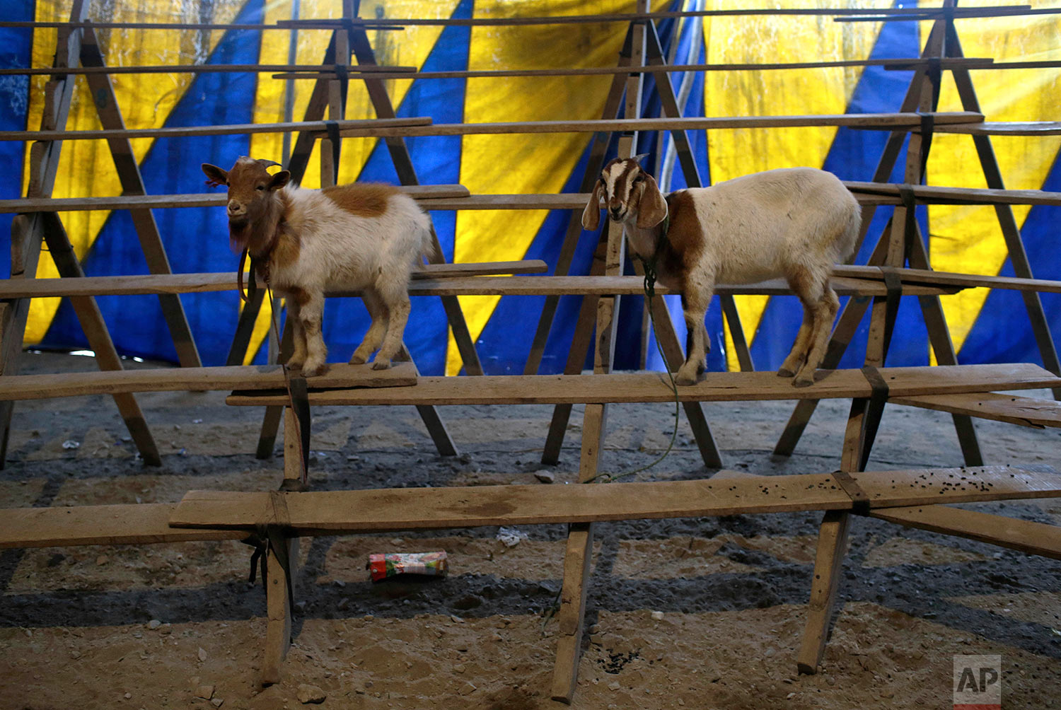 Goats named Nina and Carmecita stand leashed to the bleachers of the Tony Perejil circus, where they perform during circus acts, inside the tent set up in the shantytown of Puente Piedra on the outskirts of Lima, Peru, July 8, 2018. (AP Photo/Martin Mejia)