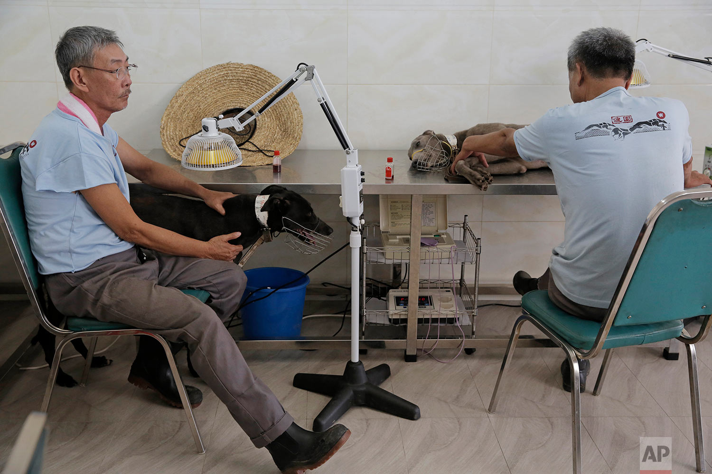 Greyhounds have massage at the Macau Yat Yuen Canidrome in Macau. (AP Photo/Kin Cheung)