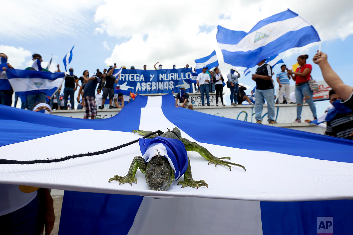 A pet iguana sits on a Nicaraguan flag during an anti-government march in support of the Catholic church in Managua, Nicaragua, July 28, 2018. Simultaneous marches of supporters of President Daniel Ortega and those opposed to his government have passed through the streets of the capital without incident. (AP Photo/Alfredo Zuniga)