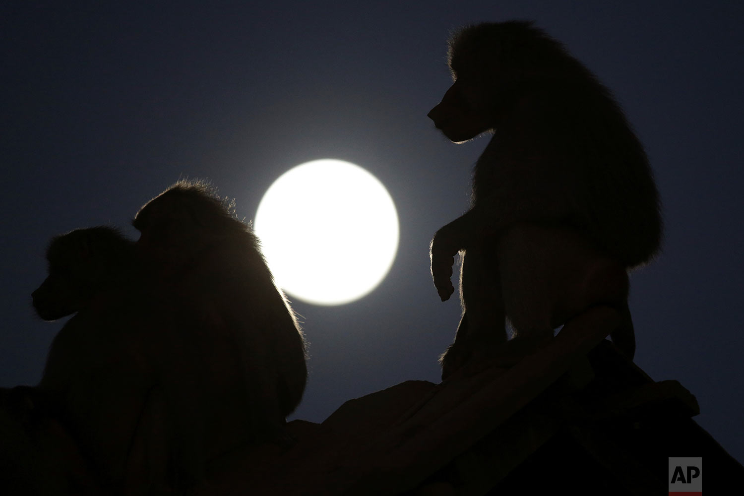 Baboons are silhouetted by the moon at the city zoo in Brasilia, Brazil, July 26, 2018. (AP Photo/Eraldo Peres)