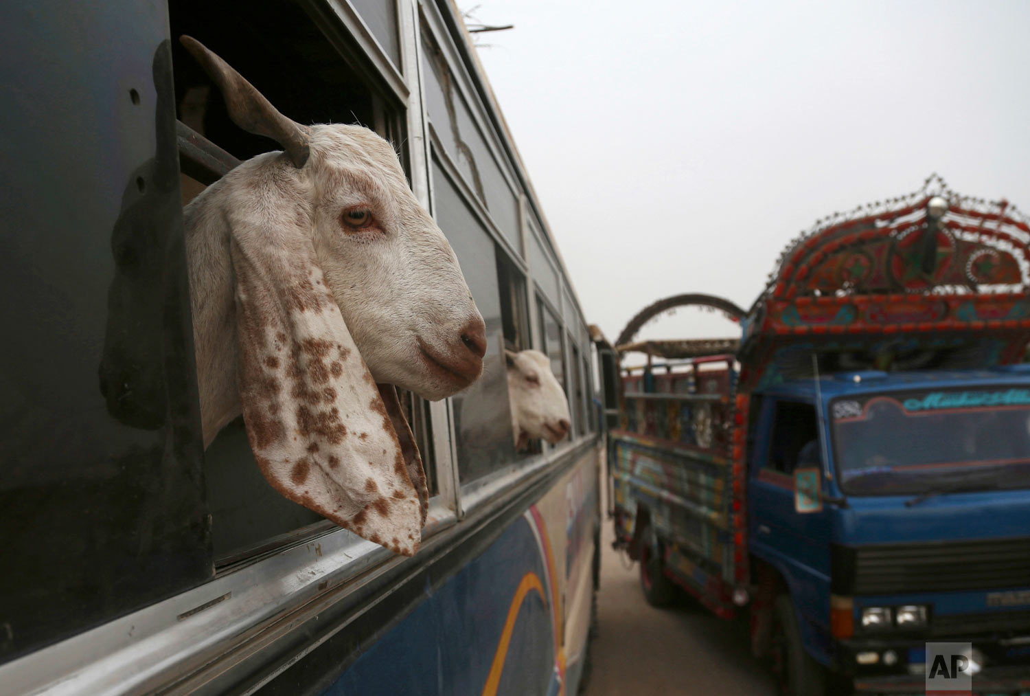 Vendors bring their animals to a cattle market set up for the upcoming Muslim festival Eid al-Adha in Karachi, Pakistan, Friday, Aug. 17, 2018. Eid al-Adha, or Feast of Sacrifice, the most important Islamic holiday, marks the willingness of the Prophet Ibrahim (Abraham to Christians and Jews) to sacrifice his son. (AP Photo/Shakil Adil)
