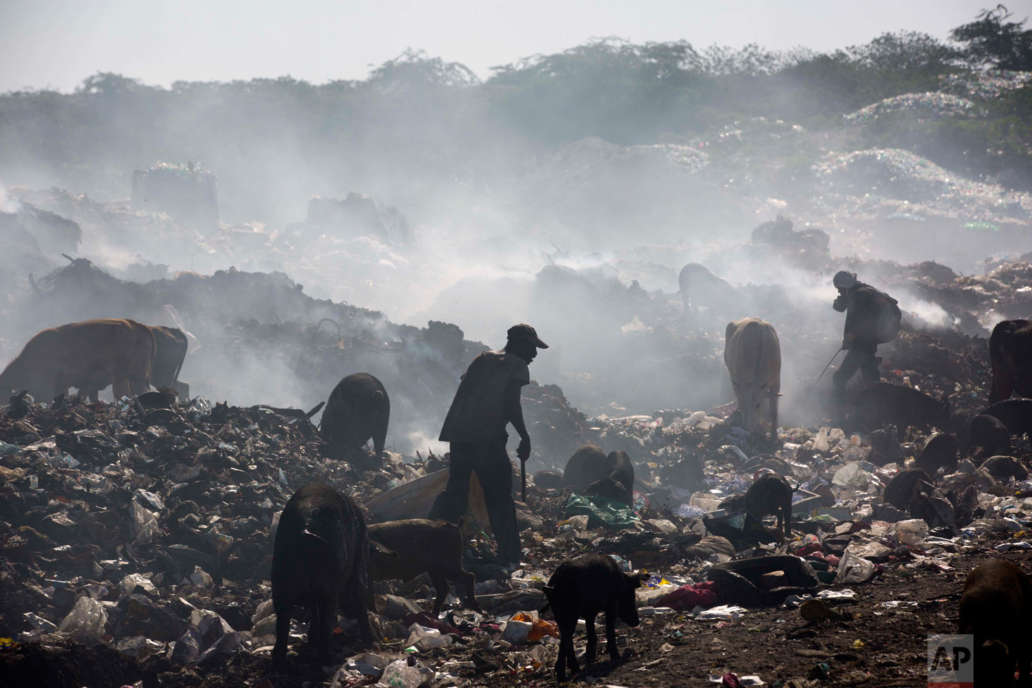 Pigs and cattle also rummage the landfill. Aug. 24, 2018. (AP Photo/Dieu Nalio Chery)