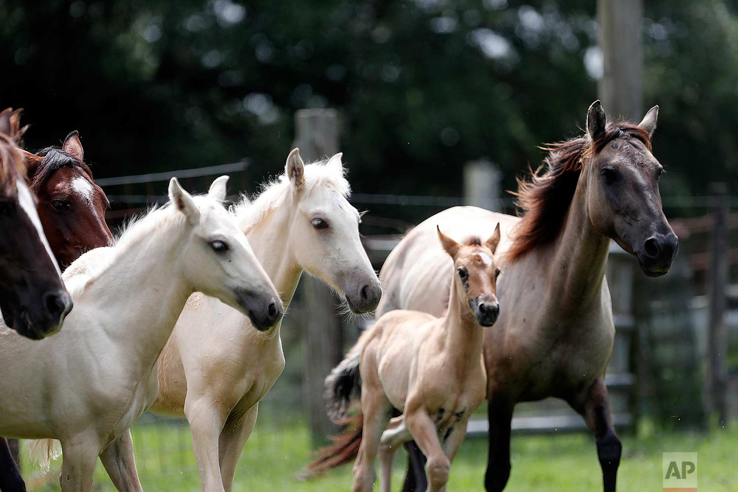 In this July 17, 2018, photo, Choctaw mare, right, and her 3-month-old filly, center, run with other Choctaw horses on Bill Frank Brown's farm in Poplarville, Miss. (AP Photo/Gerald Herbert)