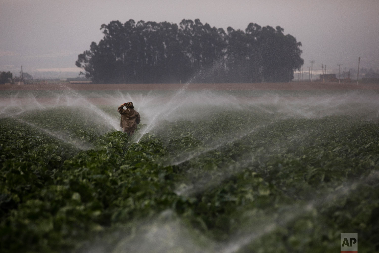 Sprinklers run as a farmworker walks through a broccoli field in Salinas, Calif., Tuesday, Sept. 4, 2018. (AP Photo/Jae C. Hong)