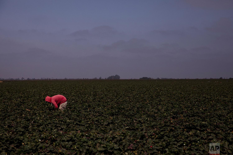 A farmworker picks strawberries in Salinas, Calif., Sept. 4, 2018. (AP Photo/Jae C. Hong)
