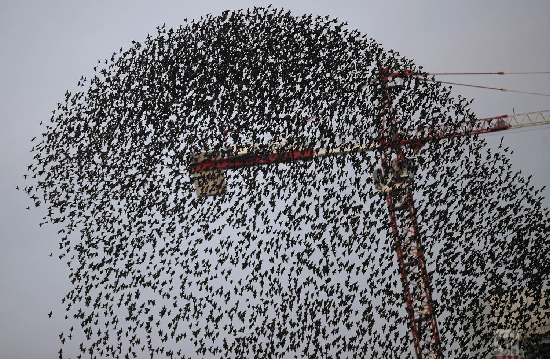 A flock of starlings flies in a murmuration near a crane, in Milan, Italy, Tuesday, Nov. 13, 2018. (AP Photo/Luca Bruno)