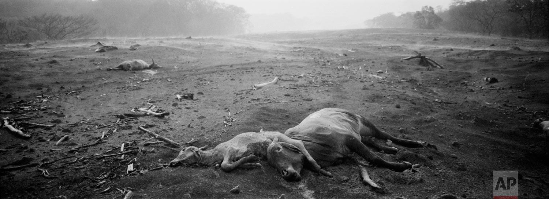 "Cows lie dead amid steam rising from the hot volcanic ash following a light rain, on June 6, 2018, near the Volcan de Fuego, or ""Volcano of Fire,"" in San Miguel Los Lotes, Escuintla, Guatemala. (AP Photo/Rodrigo Abd)"