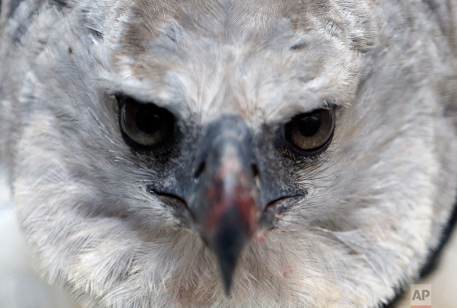In this Oct. 4, 2018 photo, a Harpy Eagle peers from its enclosure at the La Reserva Biopark in Cota, Colombia. The eagle was rescued one month prior by Colombian Air Force after it was shot by hunters. (AP Photo/Fernando Vergara)