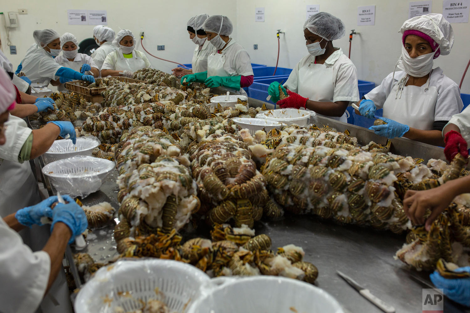 In this Jan. 27, 2018 photo, women work in the packaging of frozen lobsters to export to the US, in a factory in La Ceiba, Honduras. (AP Photo/Rodrigo Abd)