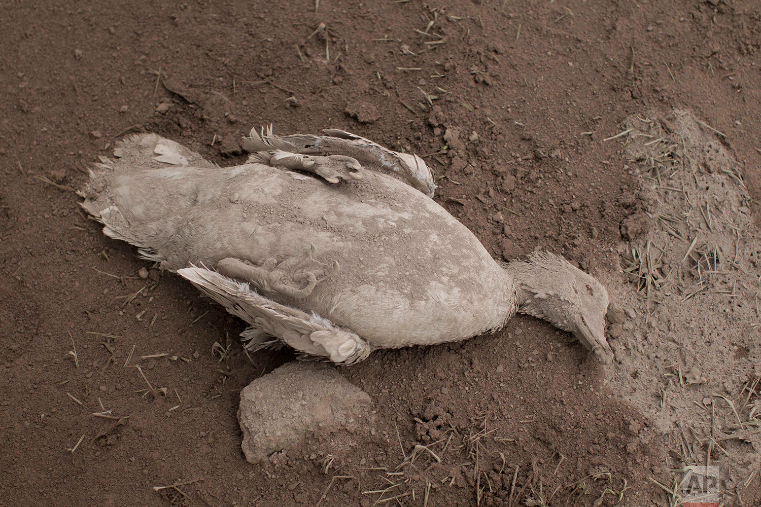 """The carcass of a duck blanketed with heavy ash spewed by the Volcan de Fuego, or """"Volcano of Fire,"""" lies on the ground in Escuintla, Guatemala, Monday, June 4, 2018. (AP Photo/Luis Soto)"""
