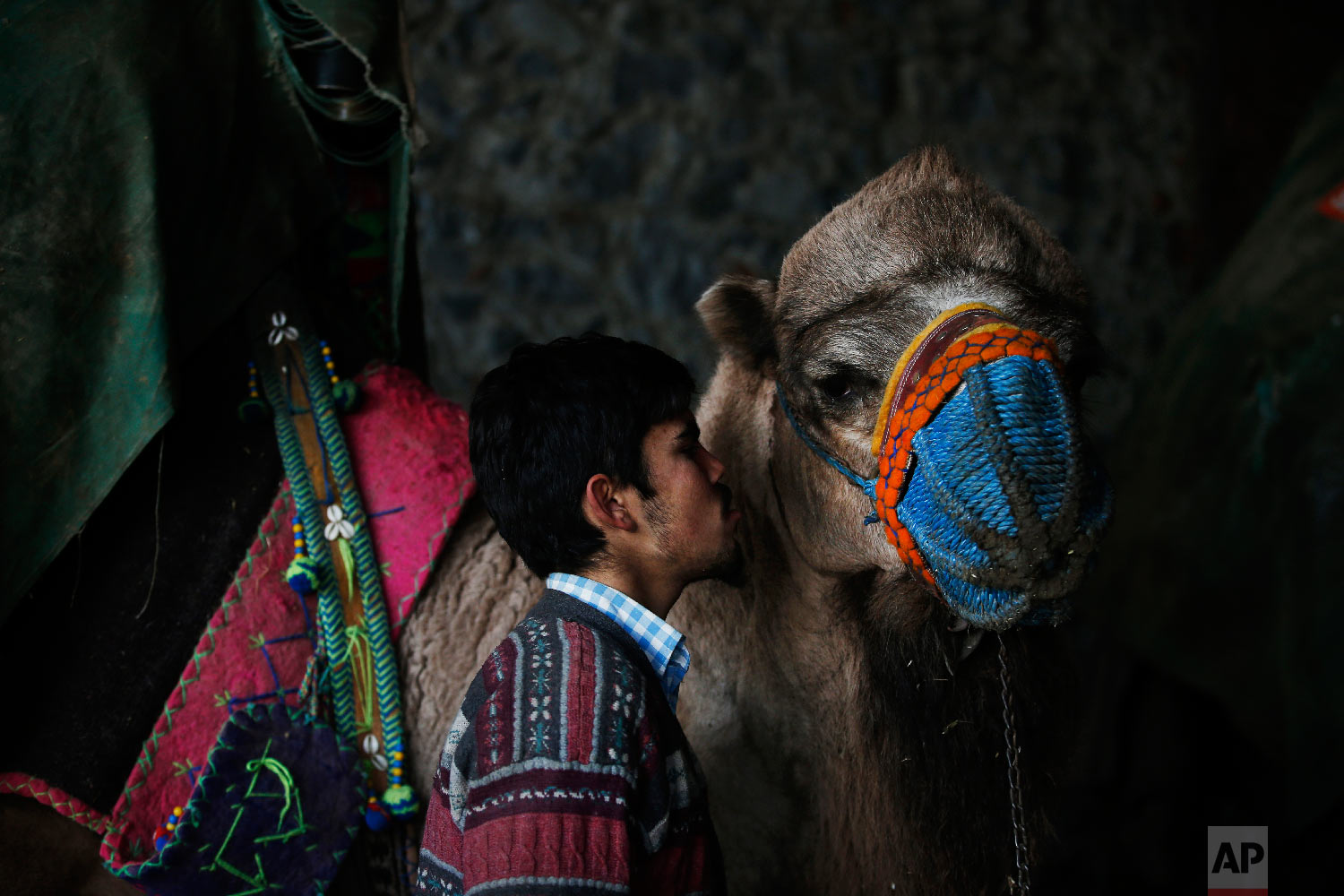 A camel handler kisses his camel prior to a parade during a contest in Turkey's largest camel wrestling festival in the Aegean town of Selcuk, Turkey, Saturday, Jan. 19, 2019.  (AP Photo/Lefteris Pitarakis)