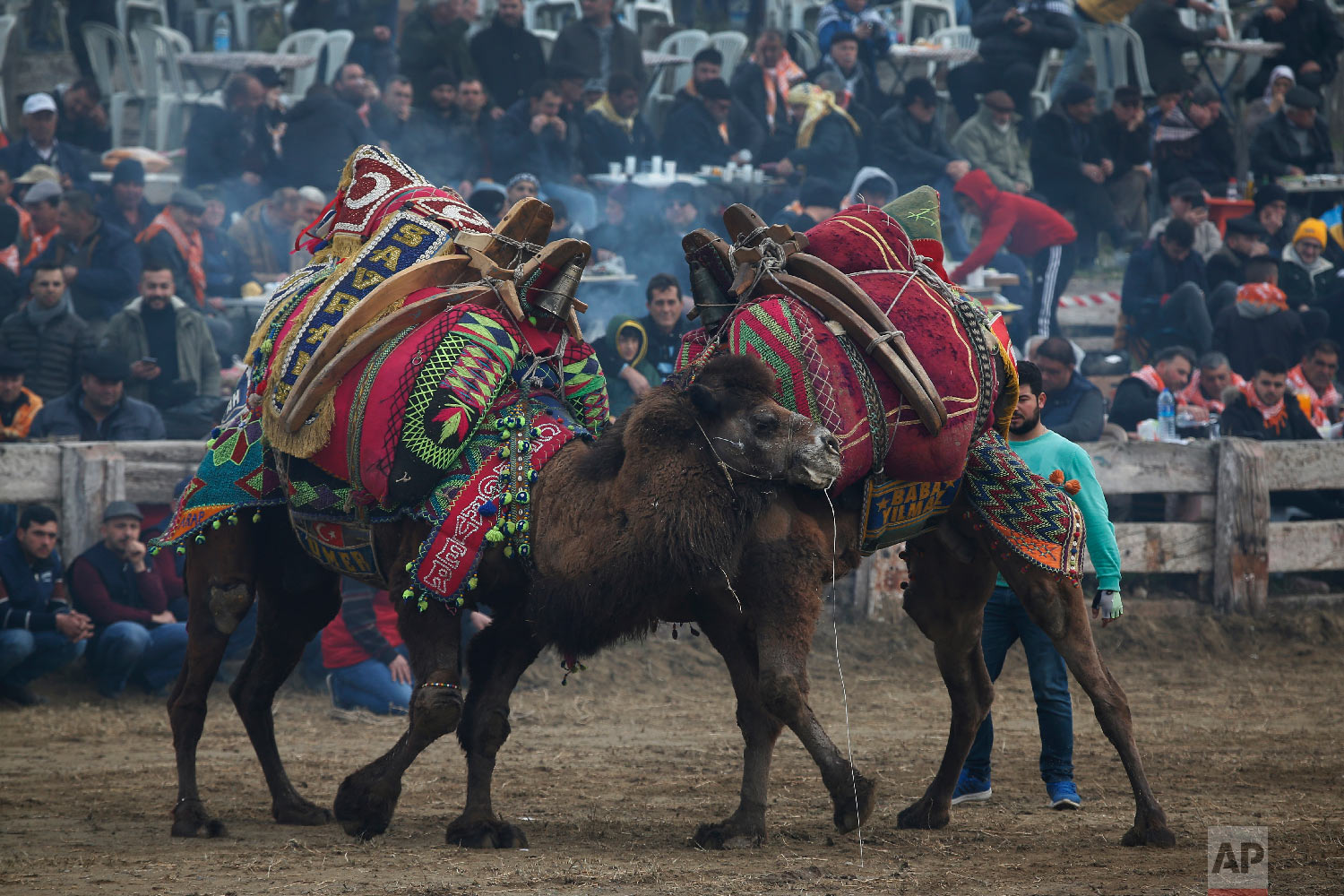 Camels bearing elaborately decorated saddles, wrestle during Turkey's largest camel wrestling festival in the Aegean town of Selcuk, Turkey, Sunday, Jan. 20, 2019.  (AP Photo/Lefteris Pitarakis)
