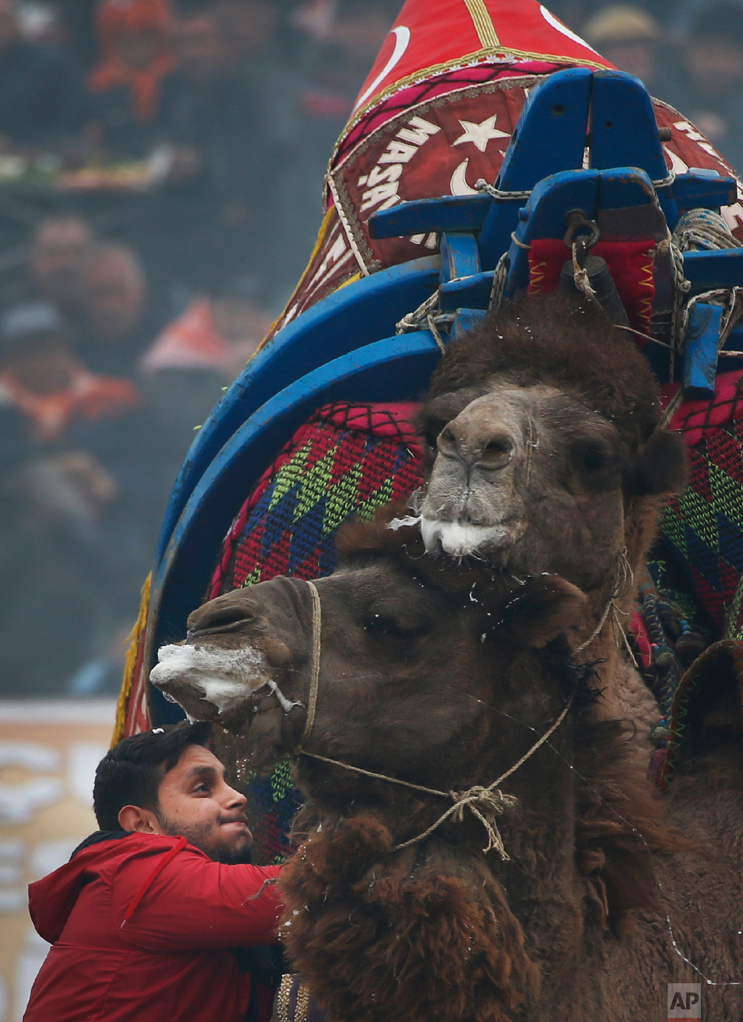 A camel owner tries to pull his camel as it wrestles with another during Turkey's largest camel wrestling festival in the Aegean town of Selcuk, Turkey, Sunday, Jan. 20, 2019.  (AP Photo/Lefteris Pitarakis)