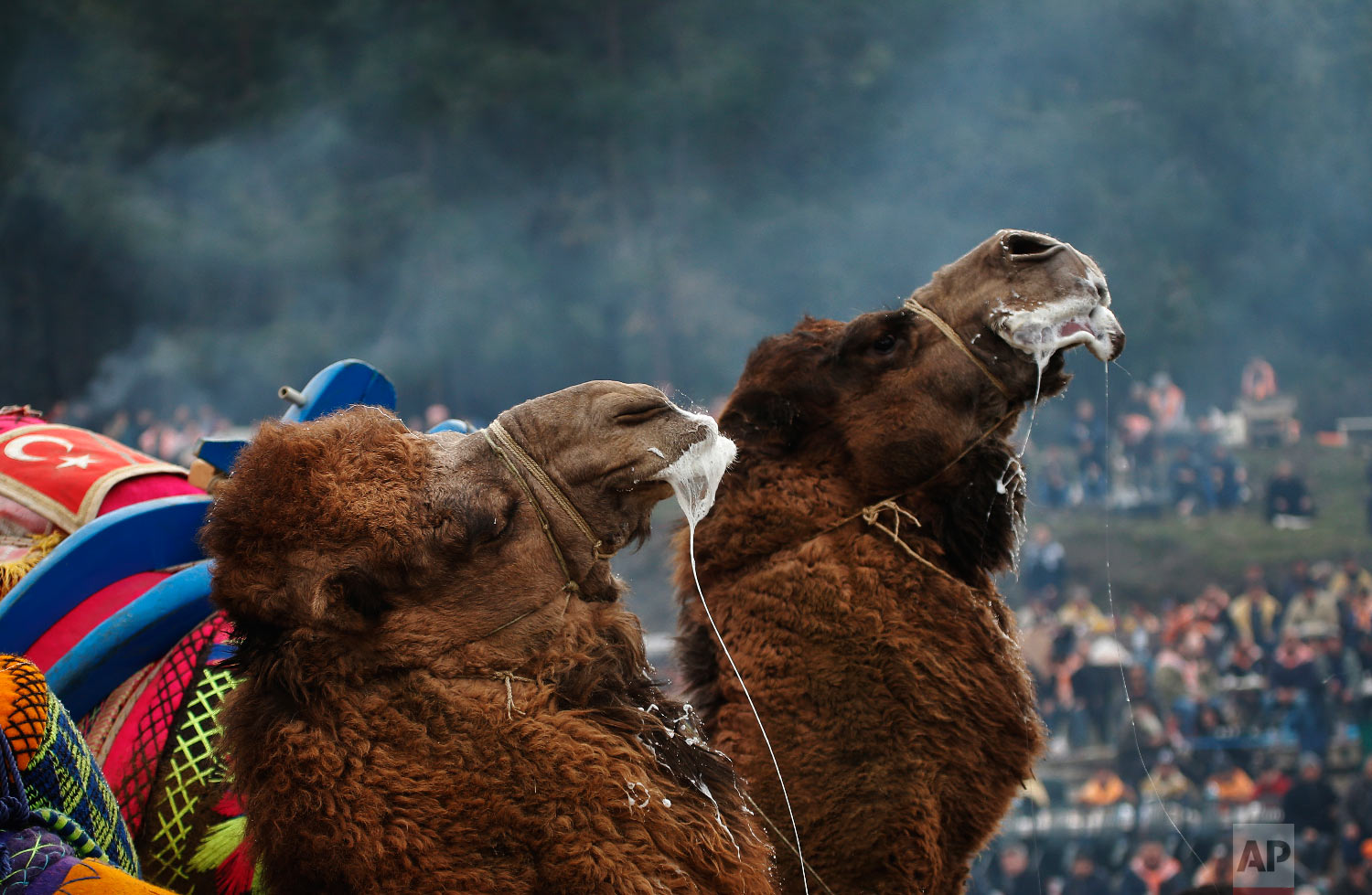 Camels wrestle during Turkey's largest camel wrestling festival in the Aegean town of Selcuk, Turkey, Sunday, Jan. 20, 2019. (AP Photo/Lefteris Pitarakis)