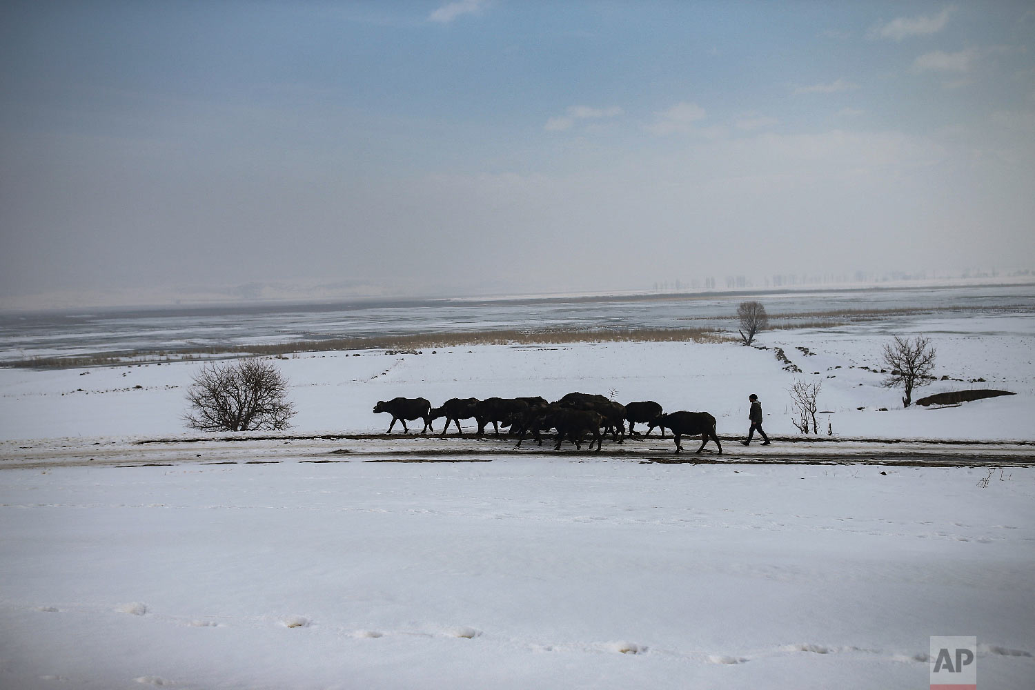 Muhammed Toren walks his family's water buffaloes to a hot spring near the village of Budakli, in the mountainous Bitlis province of eastern Turkey, Thursday, Jan. 24, 2019. (AP Photo/Emrah Gurel)