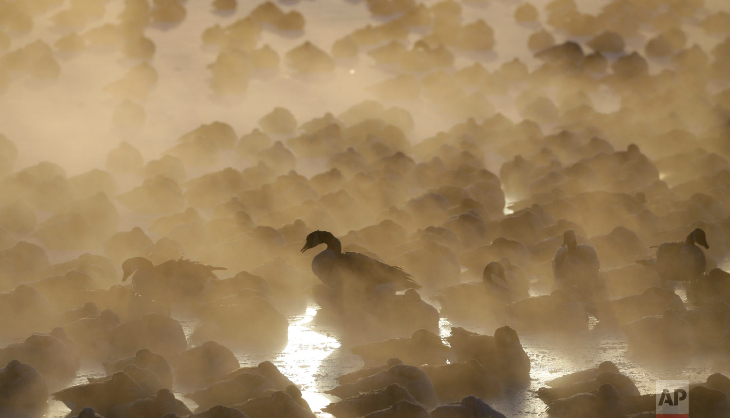 Geese huddle in the water as the sun rises at the harbor in Port Washington, Wis., on Wednesday, Jan. 30, 2019.  (AP Photo/Jeffrey Phelps)