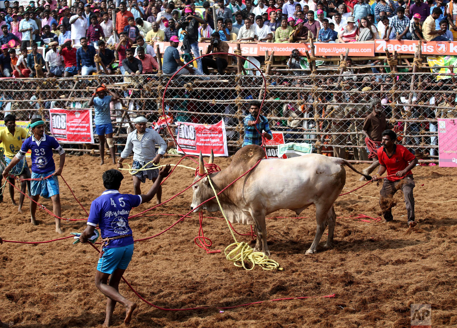 Owners and others use ropes to control a bull during a traditional bull-taming festival called Jallikattu, in the village of Palamedu, near Madurai, Tamil Nadu state, India, Wednesday, Jan. 16, 2019. (AP Photo/Aijaz Rahi)