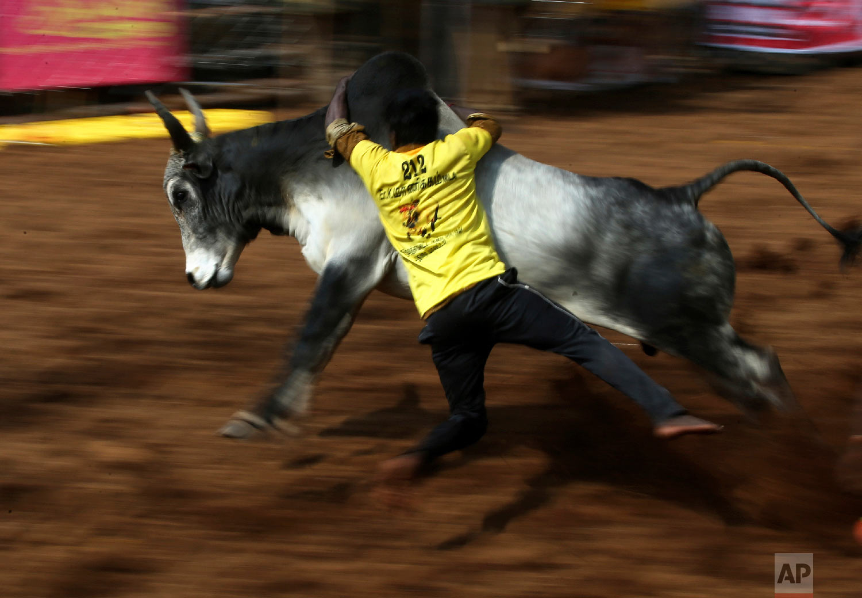 An Indian tamer tries to control a bull during a traditional bull-taming festival called Jallikattu, in the village of Palamedu, near Madurai, Tamil Nadu state, India, Wednesday, Jan. 16, 2019. (AP Photo/Aijaz Rahi)