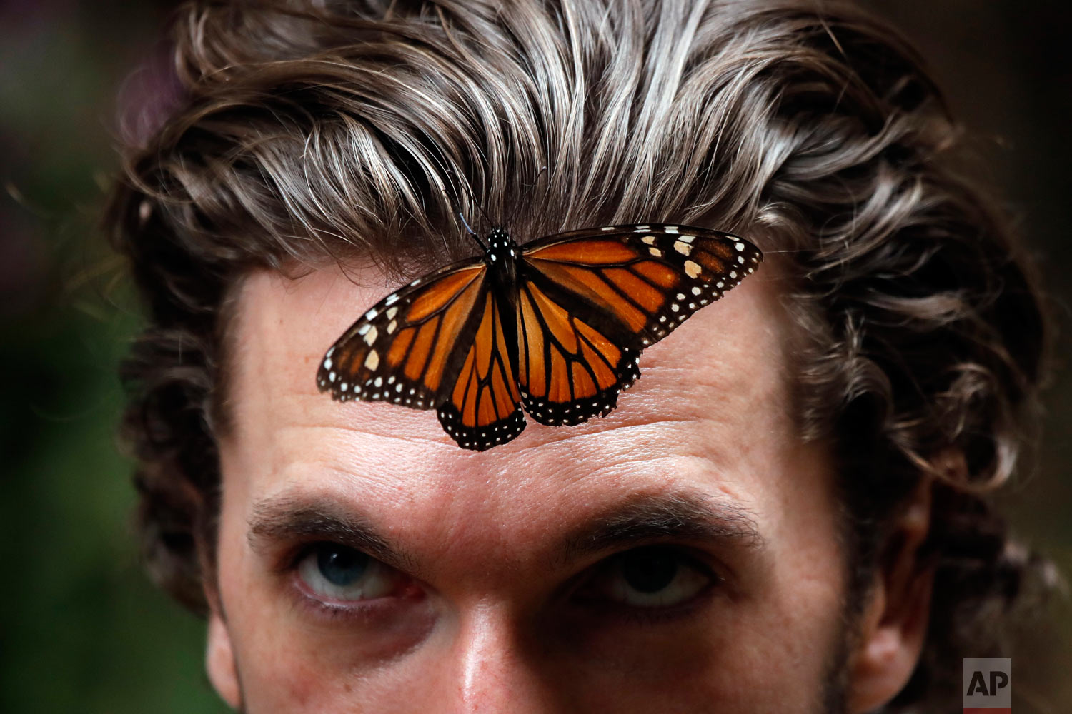 A Monarch butterfly rests on the forehead of a visitor at the Amanalco de Becerra sanctuary, in the mountains near the extinct Nevado de Toluca volcano, in Mexico, Feb. 14, 2019. (AP Photo /Marco Ugarte)