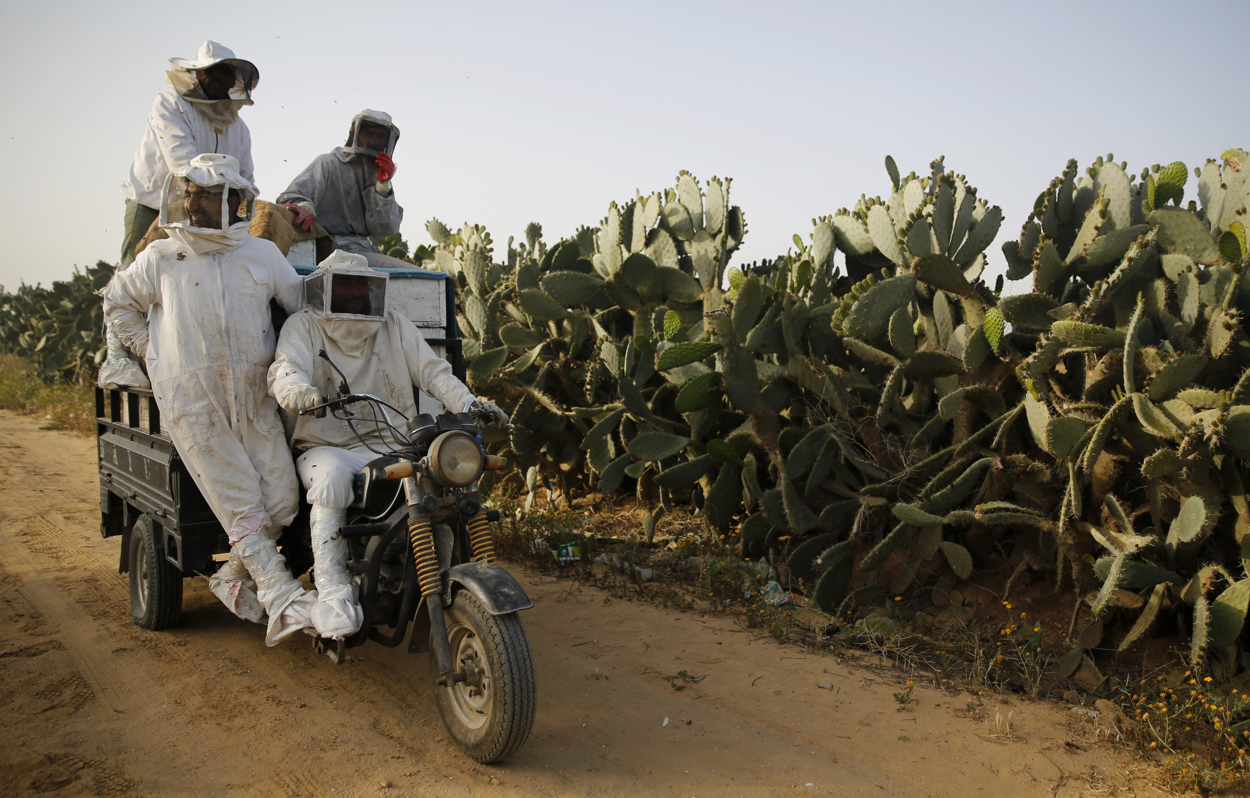 Palestinian beekeepers ride to a beehive during a day harvesting honey in east Khan Younis near the border with Israel, Thursday, April 25, 2019. (AP Photo/Hatem Moussa)