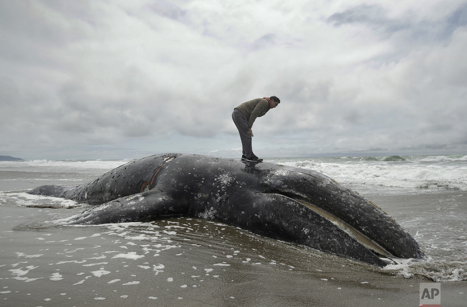 Duat Mai stands atop a dead whale at Ocean Beach in San Francisco, Monday, May 6, 2019. The Marine Mammal Center plans a necropsy to determine what killed the animal. (AP Photo/Jeff Chiu)