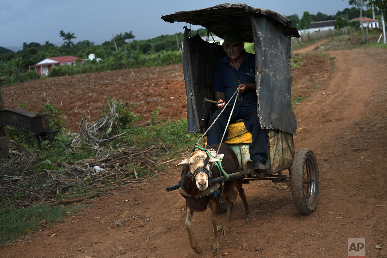 In this Aug. 24, 2019 photo, Andres Palomino Gallardo travels in his cart pulled by a goat along the roads of El Infernal neighborhood in San Andres in the province of Pinar del Río, Cuba. Gallardo uses his cart to make deliveries. (AP Photo/Ramon Espinosa)