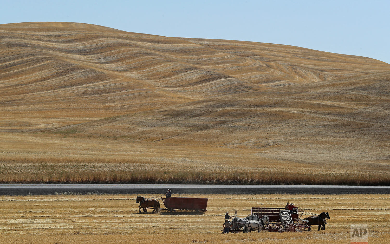 Teams of horses and mules are used to harvest barley on a field near Colfax, Wash., during an annual demonstration by members of the Palouse Empire Threshing Bee Association, a group dedicated to preserving the way land was farmed decades ago, Sept. 2, 2019. (AP Photo/Ted S. Warren)