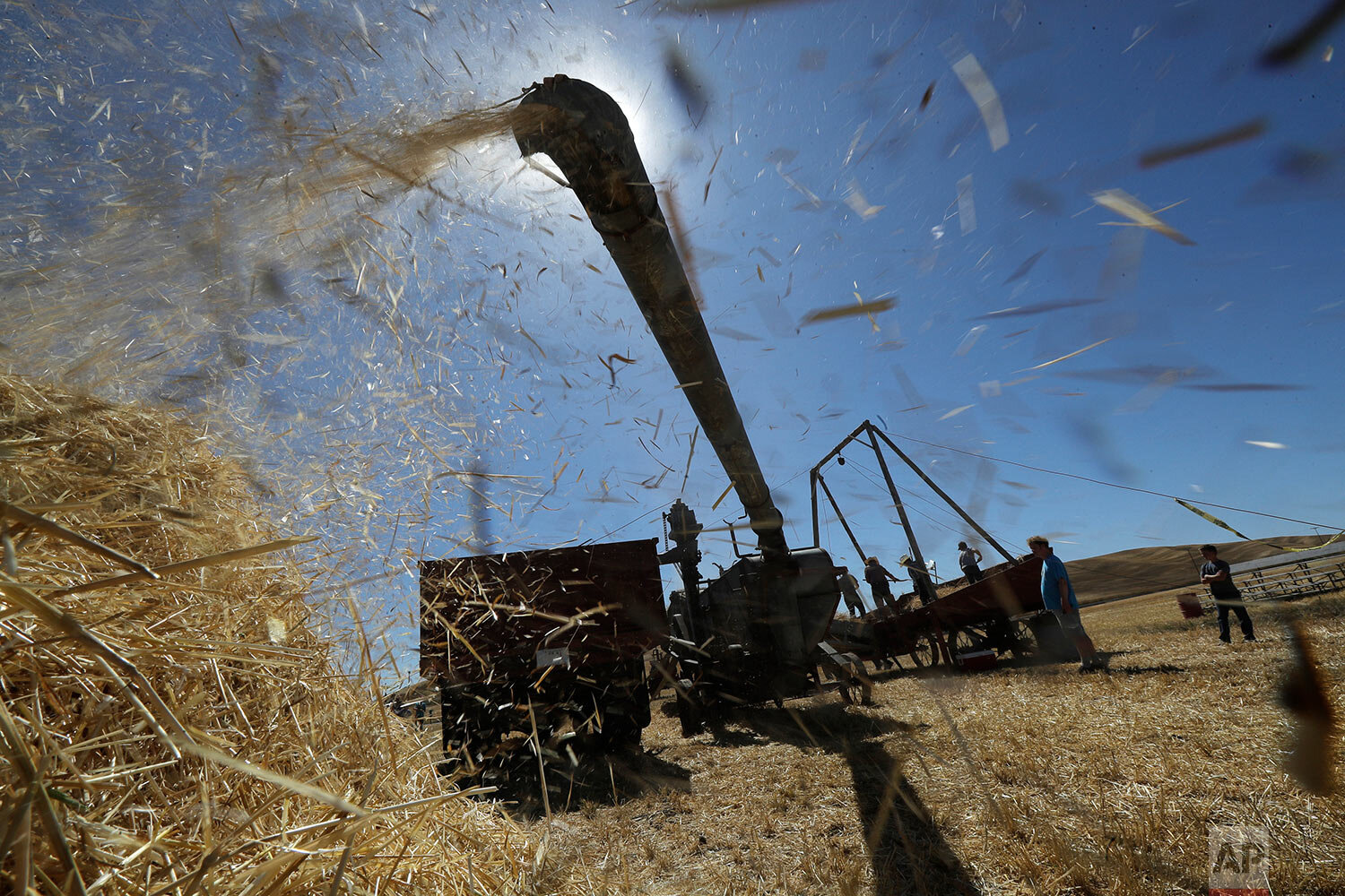 Barley chaff files from a stationary grain thresher near Colfax, Wash., Sept. 2, 2019. (AP Photo/Ted S. Warren)