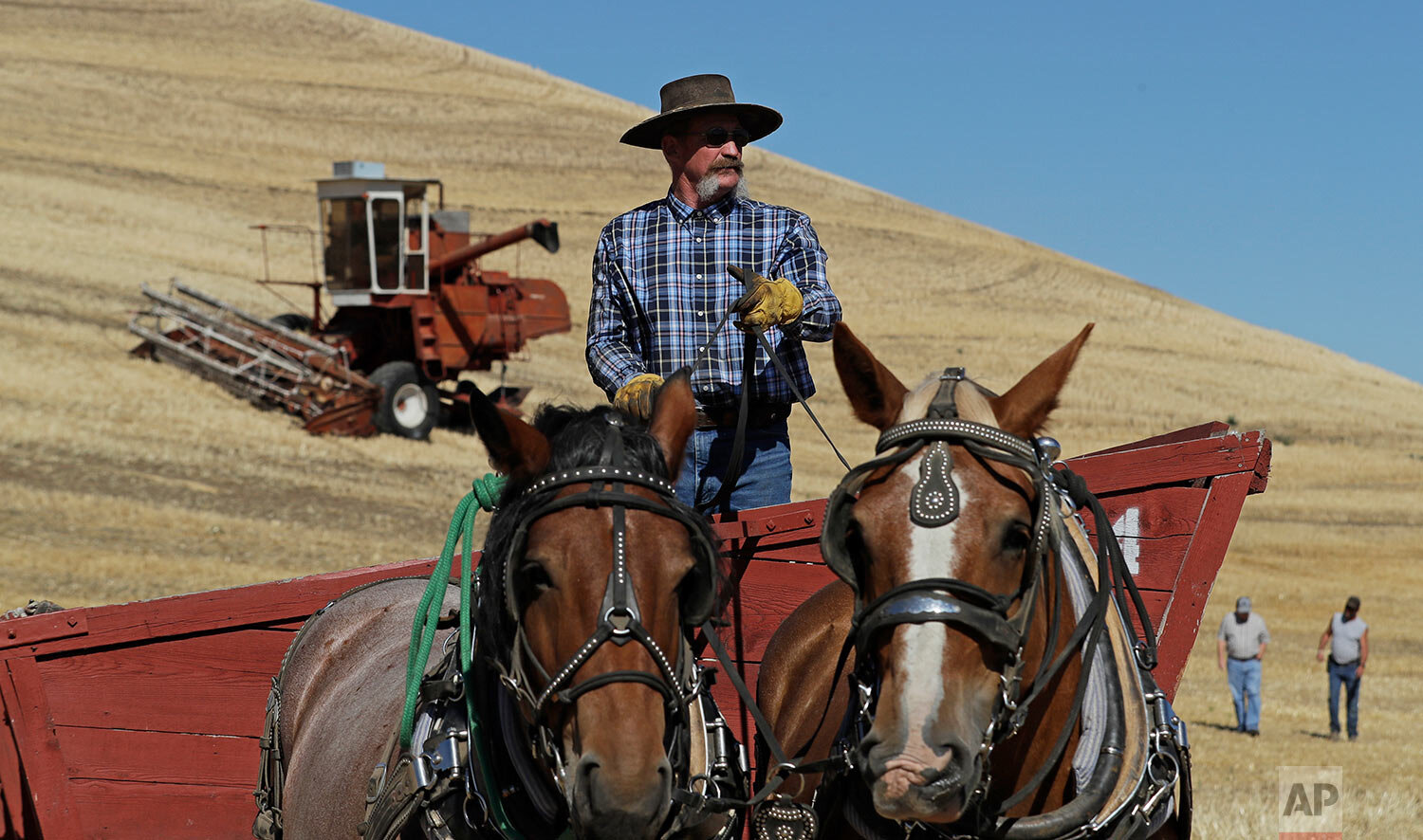 Mark Speed pulls a traditional grain wagon with a pair of Brabant draft horses, near Colfax, Wash., Sept. 2, 2019. (AP Photo/Ted S. Warren)