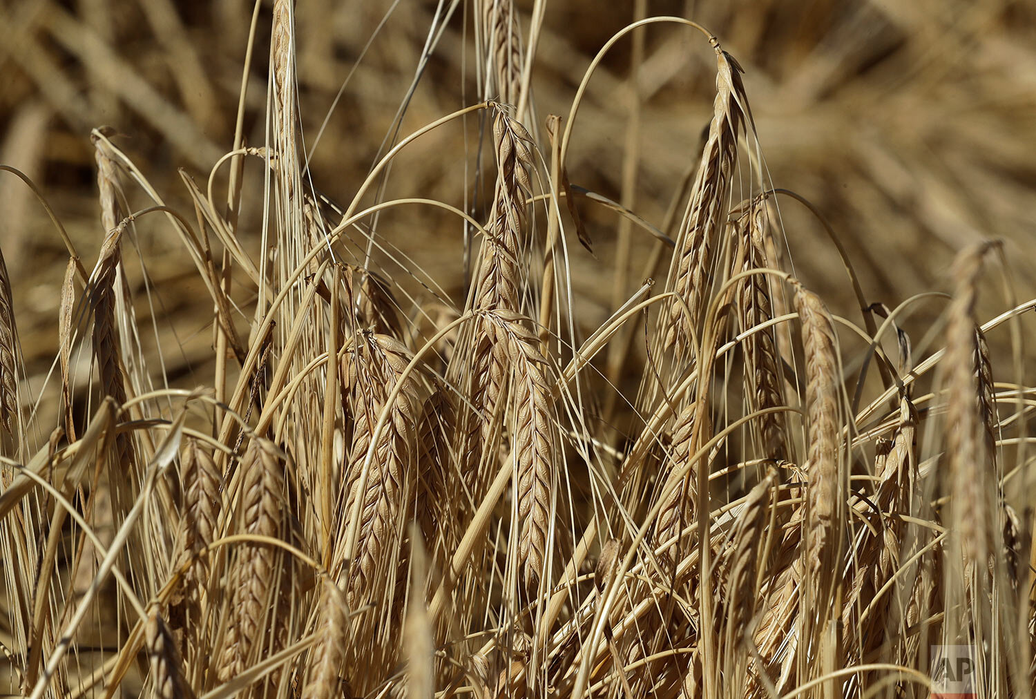 This photo shows barley ready for harvest in a field near Colfax, Wash., Sept. 2, 2019. (AP Photo/Ted S. Warren)