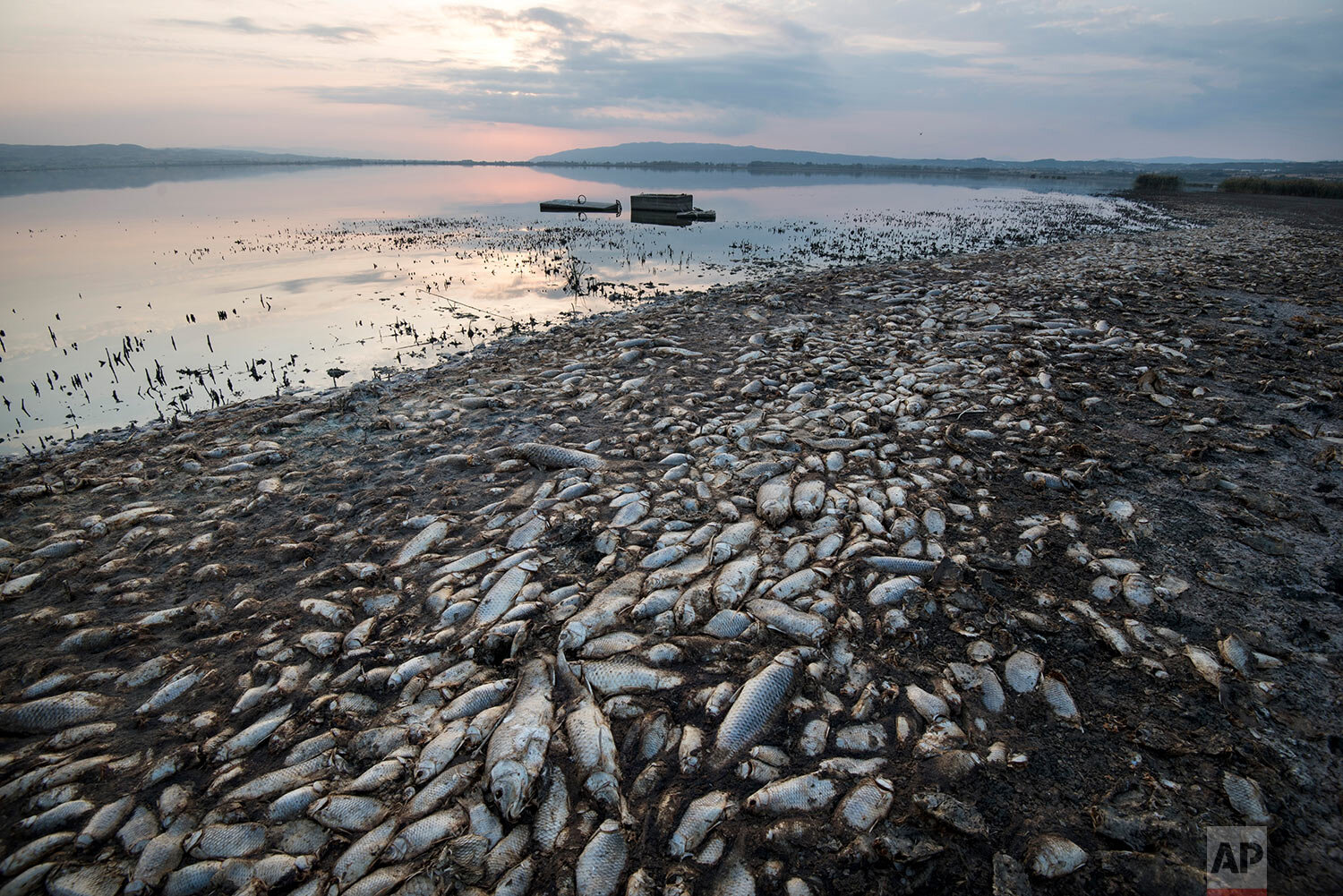 Dead fish lie on the shores of Koroneia Lake in northern Greece, on Thursday, Sept. 19, 2019. Tens of thousands of dead fish are washing up as the water level has plummeted to less than a meter deep (three feet) accompanied by a lack of oxygen in the water. (AP Photo/Giannis Papanikos)