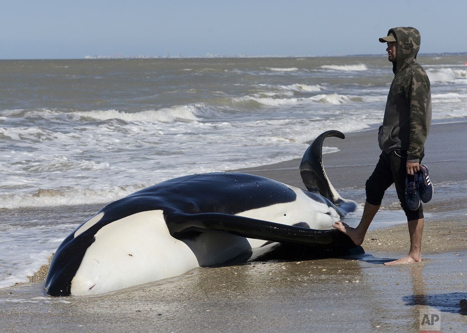 A man stands next to a dead killer whale near Mar Chiquita, Argentina, Monday, Sept. 16, 2019. Seven killer whales were stranded on the coast before rescuers and volunteers returned six of them to sea, but one died in the process. (AP Photo/Marina Devo)