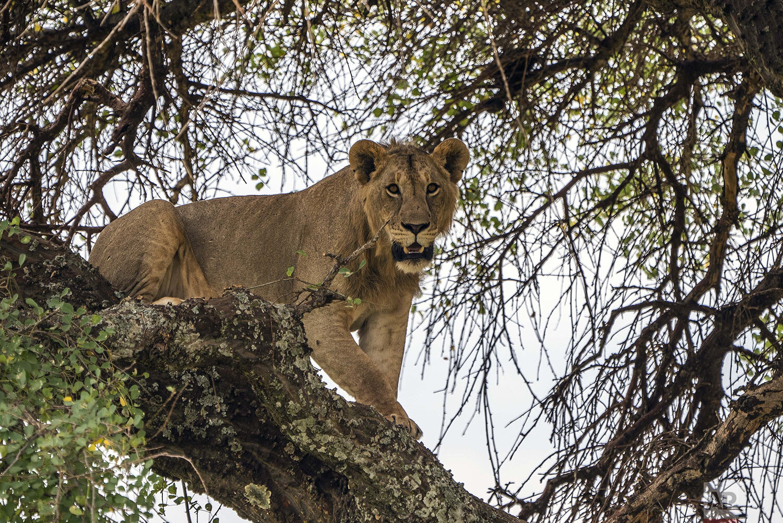 A young lion climbs down a tree in Tanzania's Tarangire National Park, Sunday July 7, 2019. (AP Photo/Jerome Delay)