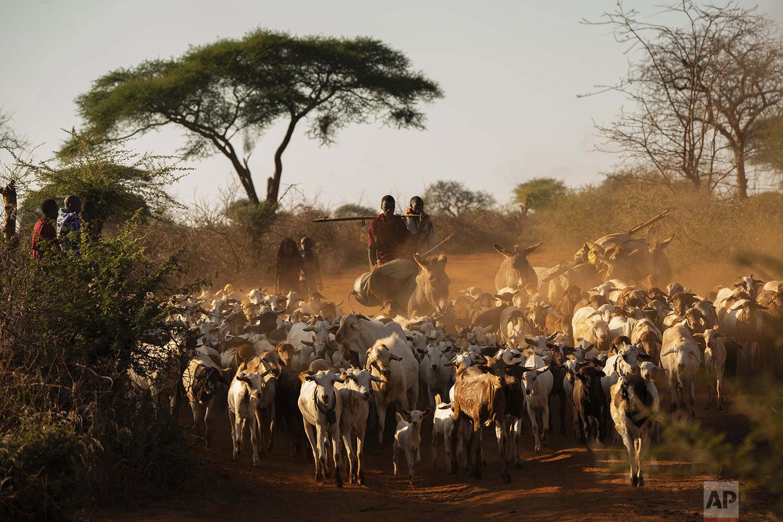 Shepherds return their livestock to their village near Loibor Siret, Tanzania, Friday July 5, 2019. (AP Photo/Jerome Delay)