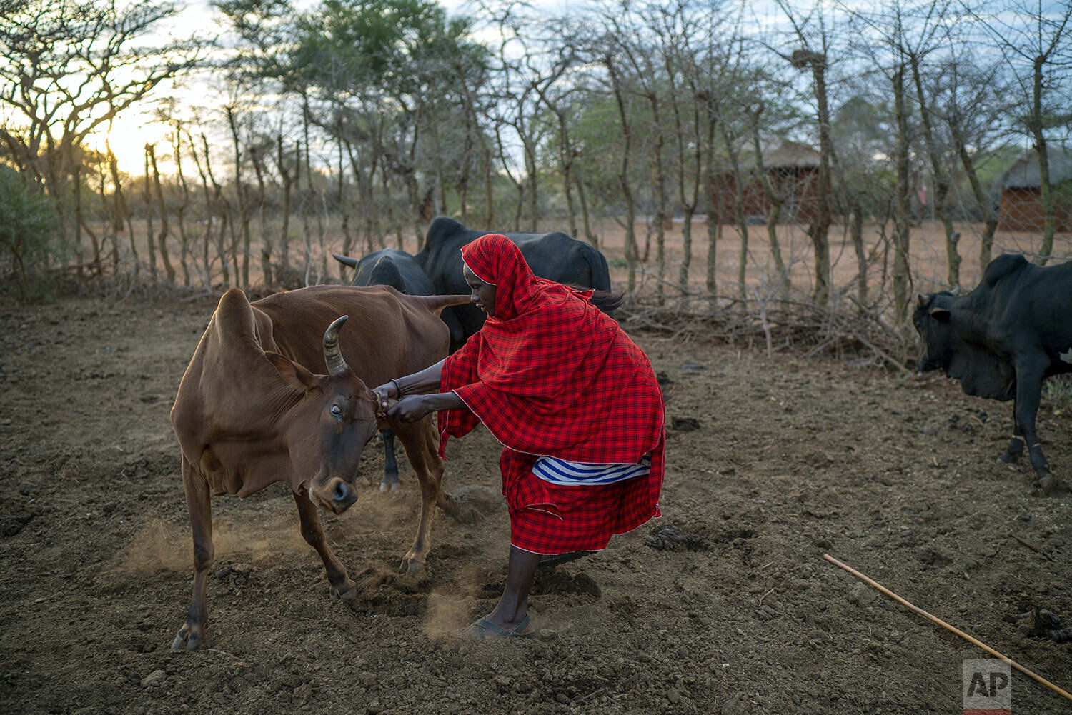 Saitoti Petro holds a cow before taking his herd to the fields in the village of Narakauwo, Tanzania, Thursday July 4, 2019. (AP Photo/Jerome Delay)