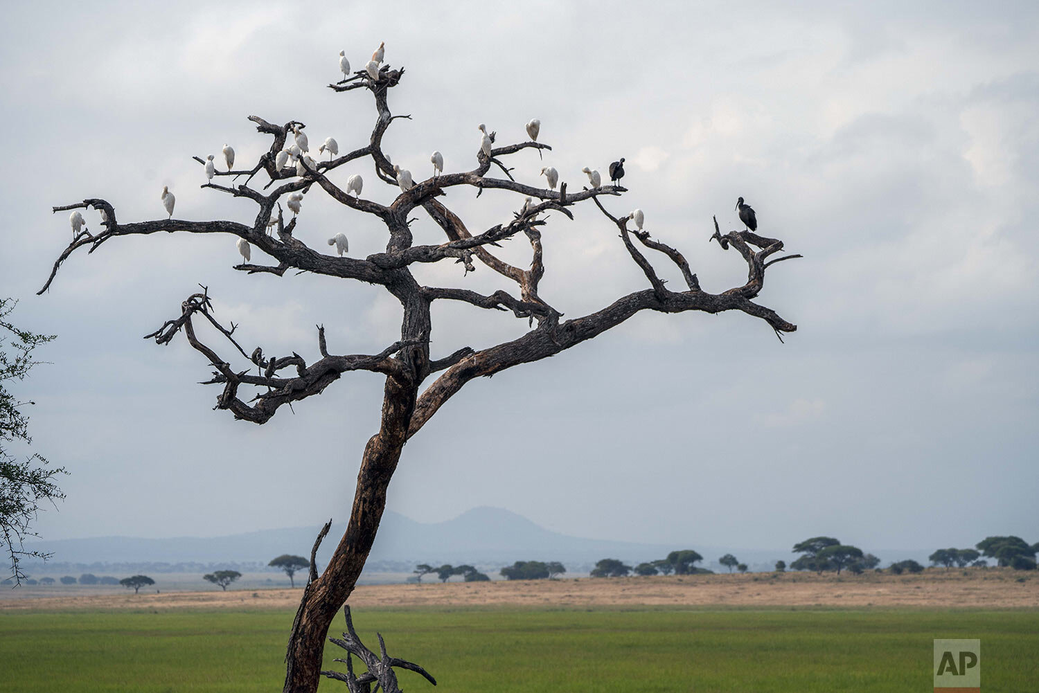 Birds perch on the branches of a dead tree in Tanzania's Tarangire National Park, Sunday July 7, 2019. (AP Photo/Jerome Delay)
