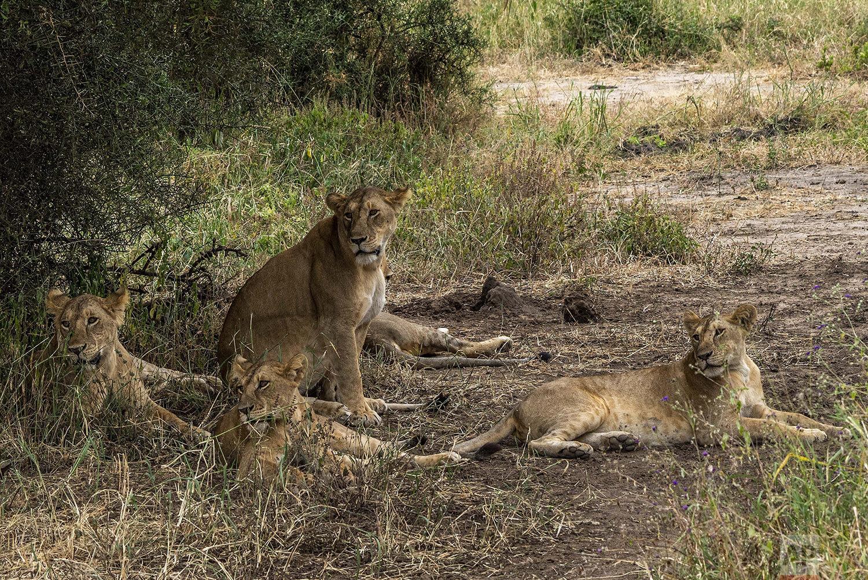 Lions rest under a tree in Tanzania's Tarangire National Park, Sunday July 7, 2019. (AP Photo/Jerome Delay)